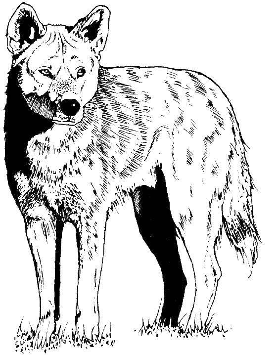 порнуха красный волк картинки распечатать информация ценам скидкам