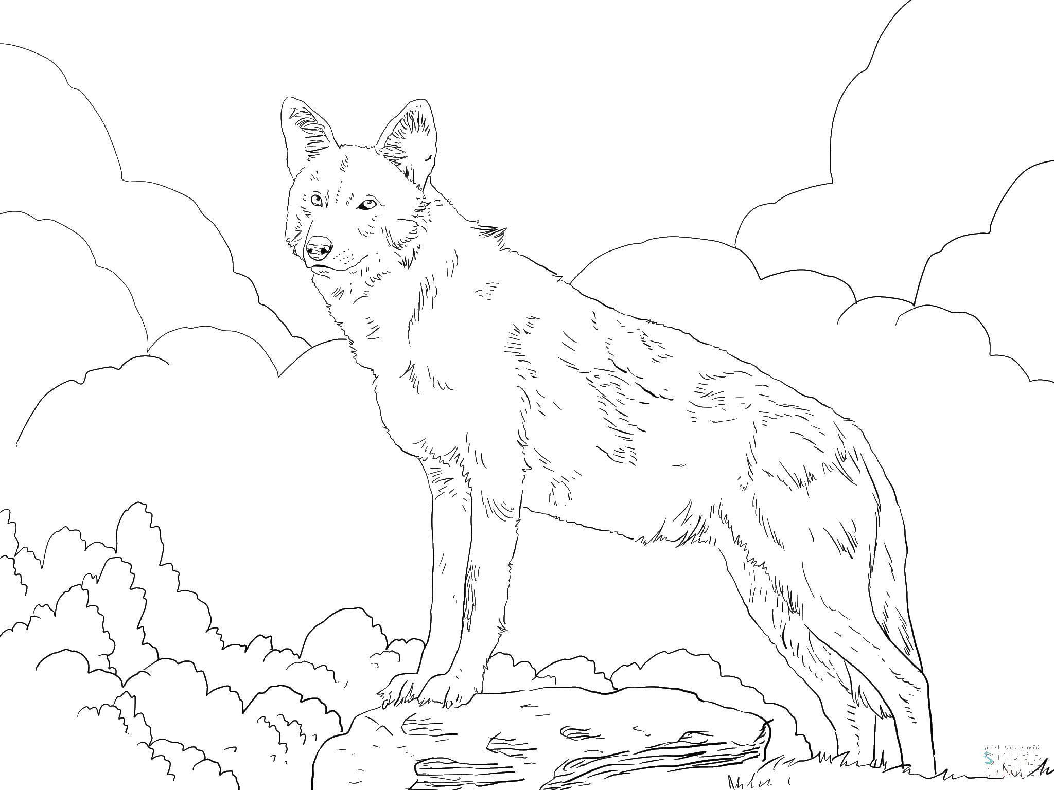 волк в картинках для раскраски ночь сидел