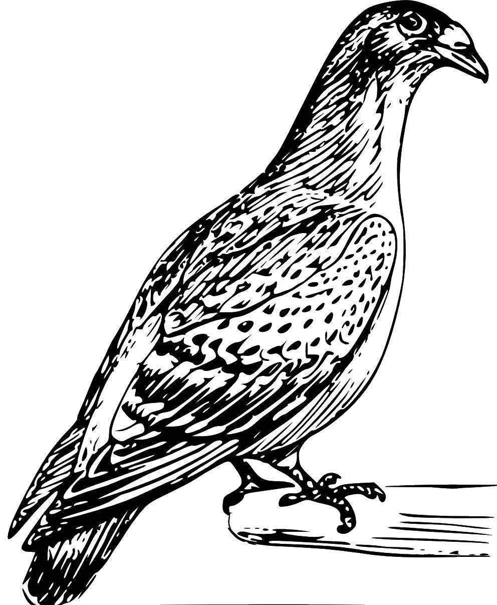 Раскраска птицы Скачать .  Распечатать