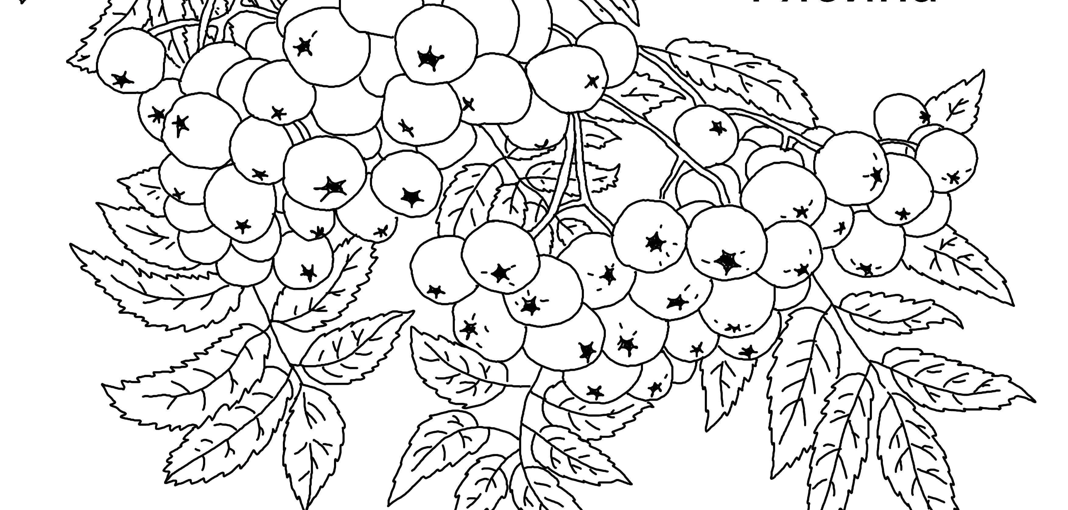 раскраска гроздь рябины распечатать очарование прошлого